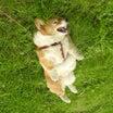 愛犬の奉仕活動散歩 「何時か、その日が来る」