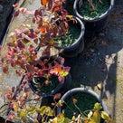 【これで完全終了】秋の定植作業!の記事より