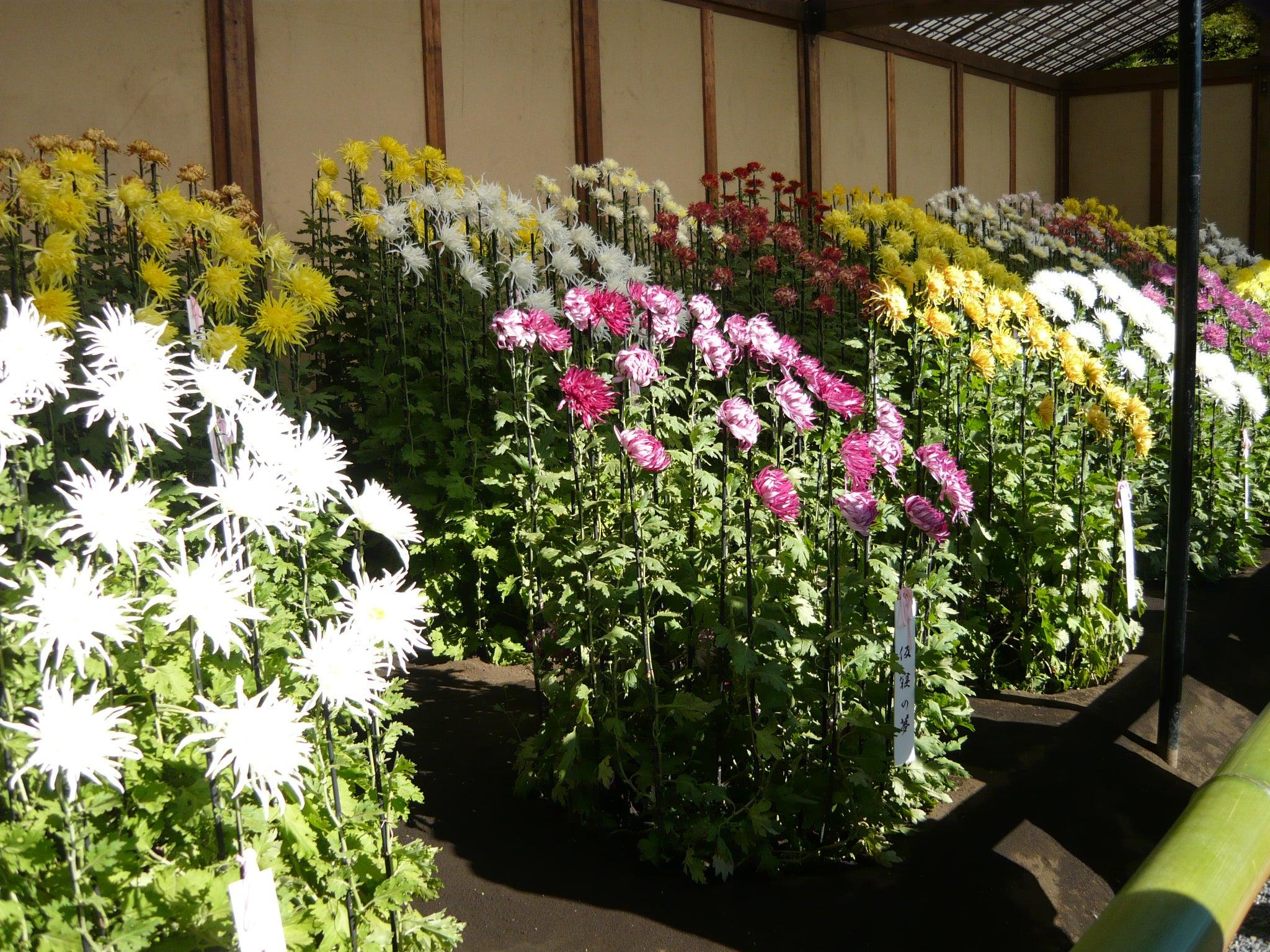 新宿御苑、菊花壇展へ