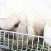 茨城県水戸市にあるウサギ販売店「プティラパン」 ロップイヤー『ミルク』ベビー 10/6⑩の画像