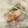 茨城県水戸市にあるウサギ販売店「プティラパン」 ネザーランド『ピーちゃん』ベビー 11/11生②の画像