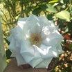ブルーヘブンが初めて綺麗に咲きました♫と、レウィシアの夏越し♡