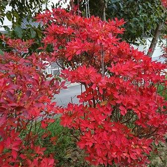 綺麗に紅葉しています