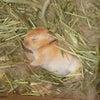 茨城県水戸市にあるウサギ販売店「プティラパン」 ネザーランド『ピーちゃん』ベビー 11/11生③の画像