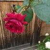 咲き出したバラと植え替えたバラ