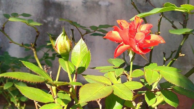 オレンジの薔薇の花の画像