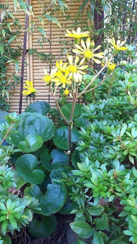 ツワの黄色い花の画像