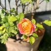 河本ローズ・マリーヌ♡と、開ききれず咲くバラ達(*^_^*)