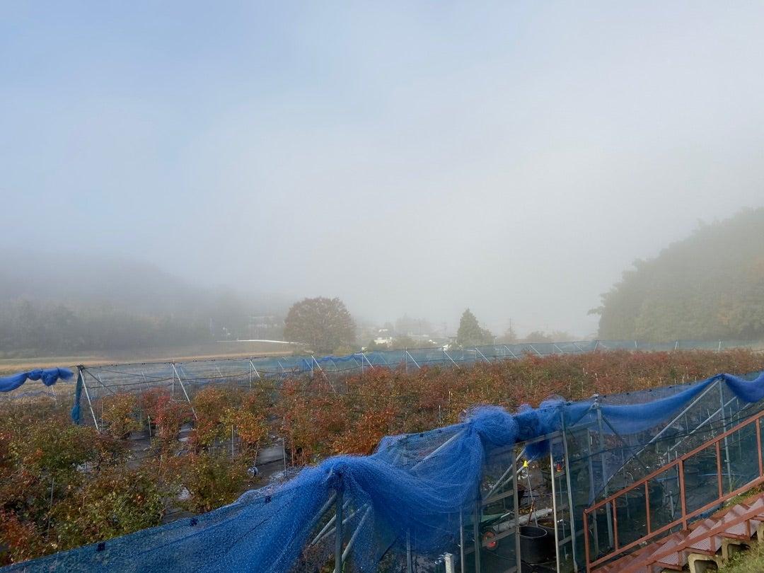 霧の中のブルーベリー農園が見事!の記事より