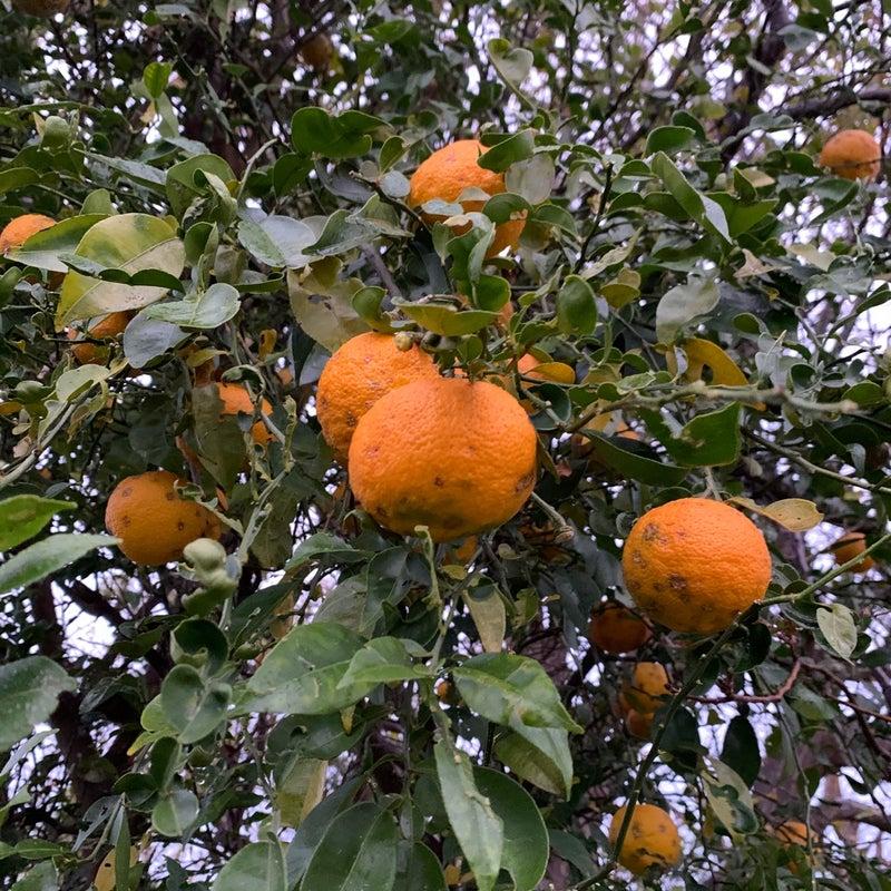 三 柿 年 八 年 は 栗 桃 柚子