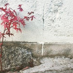 1本の小さな楓。の画像