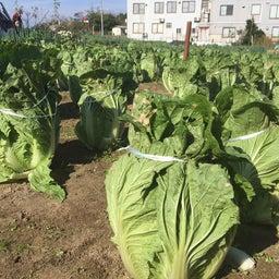 画像 甘い自家栽培の白菜は女将の自信作 の記事より