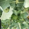 ブロッコリーの蕾の画像
