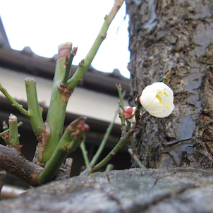 やっと梅が咲いたの画像