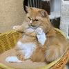 猫の荒々しい毛繕いの画像