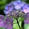 香川 さぬき 栗林公園 アジサイ 紫陽花の画像