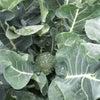 ブロッコリー収穫の画像