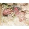 茨城県水戸市にあるウサギ販売店「プティラパン」 ネザーランド『クルミ』ベビー 1/7生①の画像