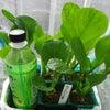 小松菜(よかった菜)の収穫の画像