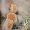 茨城県水戸市にあるウサギ販売店「プティラパン」 ネザーランド『クルミ』ベビー 1/7生③の画像