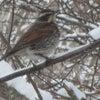 少し積雪、冬鳥ツグミの画像