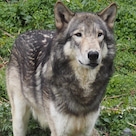 シンリンオオカミとカナダヤマアラシの記事より