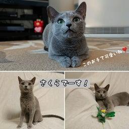 画像 1才違いの姉妹猫のひなこちゃんとさくらちゃん♡ の記事より 3つ目