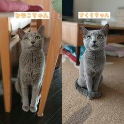 画像 1才違いの姉妹猫のひなこちゃんとさくらちゃん♡ の記事より 1つ目
