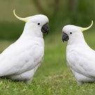 仲間を進んで助けるヨウム!鳥で初の行動(動画あり)の記事より