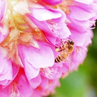 ドンベア(ピンクボール)とミツバチ