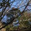 湯河原梅林「梅の宴」もうすぐです!の画像