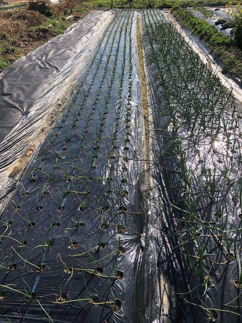追肥 玉ねぎ の タマネギの栽培方法☆追肥と止め肥時期