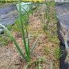 泉佐野市なかよしこども園の菜園作りの画像