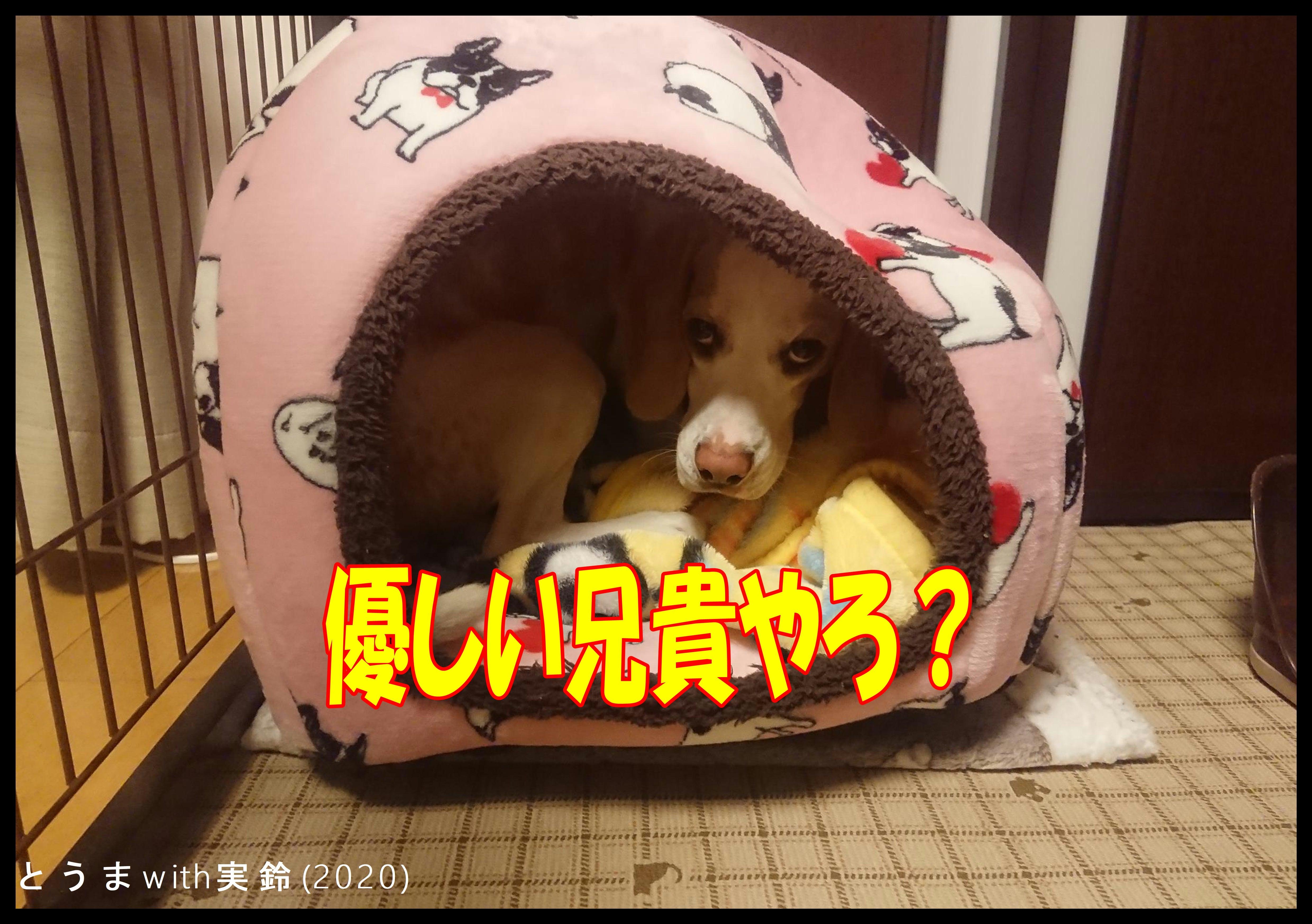 妹犬想いの兄犬が寝床を暖めます | ブーグル犬とうまwith実鈴