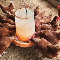 画像 卵の美味しさと面白さのこだわりは、国産・環境・自家製の餌! の記事より 3つ目