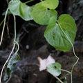 ツルギキョウ(蔓桔梗) / Heart shaped leaves