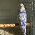テラポリスのブログ  羽衣セキセイインコ  アキクサインコ  リクガメの繁殖、販売、ブリーダー
