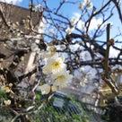 ♡春がもう来ています♡の記事より