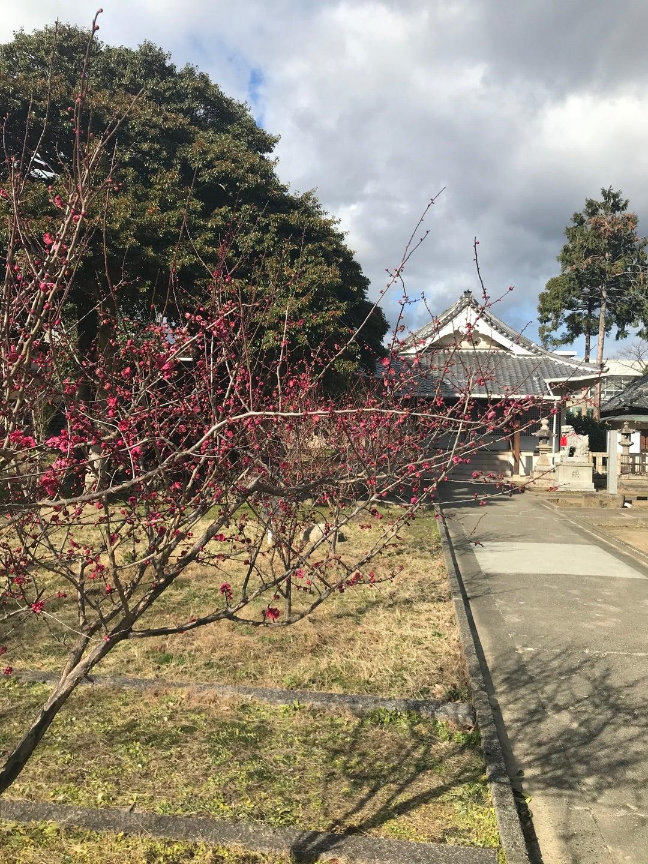 春日神社 梅が咲きました