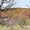 さぬき 高松 栗林公園の梅 その後の画像