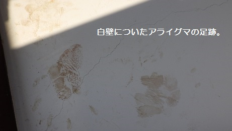 白壁に残るアライグマの足跡