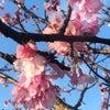桜日和今帰仁城址の画像