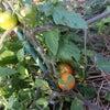 久米島での野菜づくり2020年1月末の画像