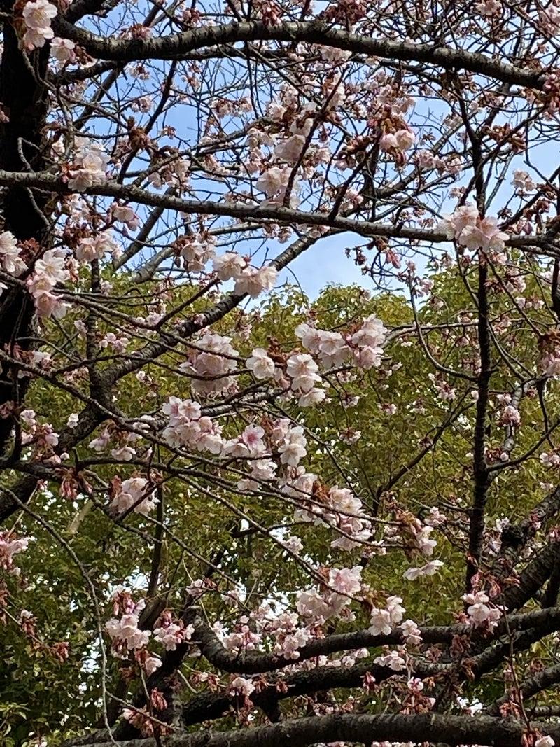 立春に咲くさくら