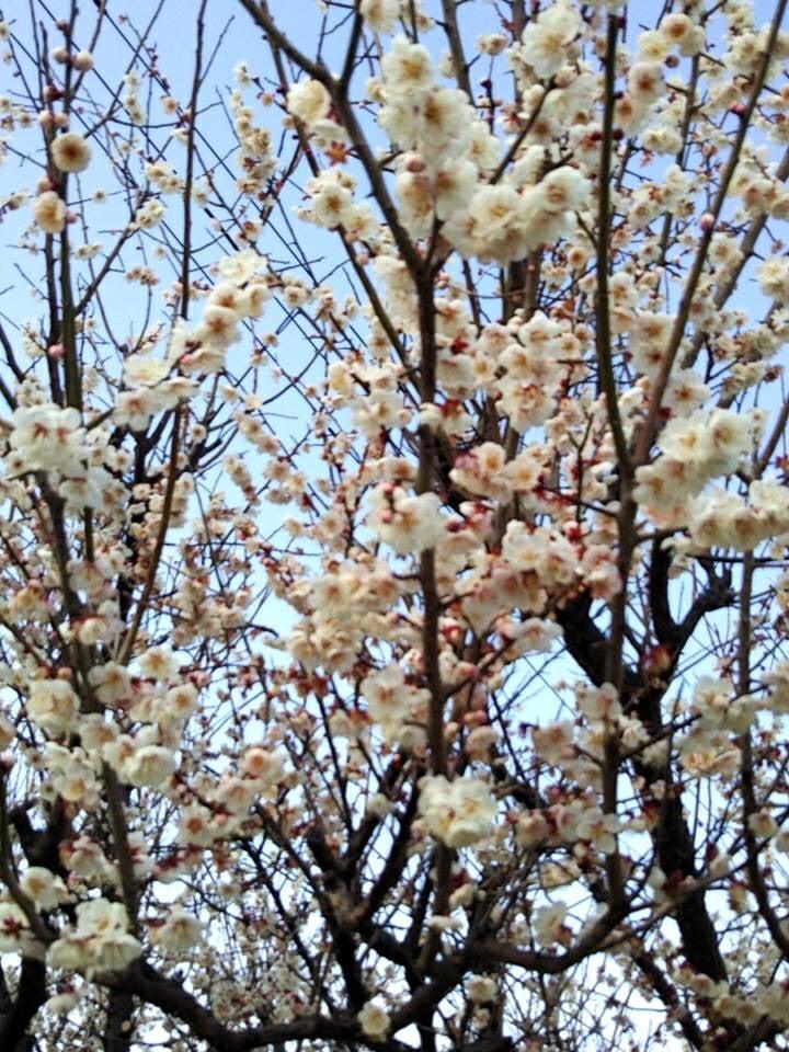 梅 は 咲い たか 桜 は まだ かいな