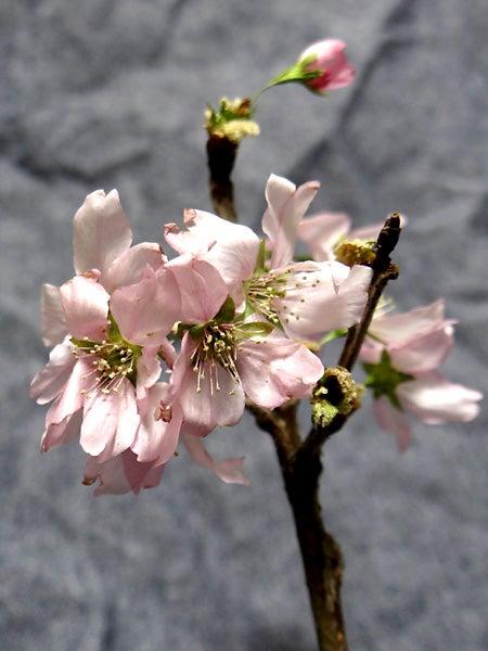桜のドライフラワー