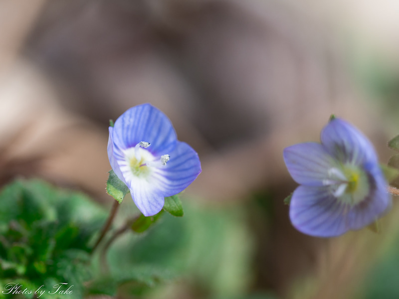 花 言葉 オオイヌノフグリ