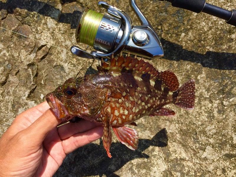 カサゴ(ガシラ)釣り入門 磯や堤防・テトラからエサ釣りでカサゴを釣 ...