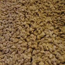 画像 麦麹作り の記事より 14つ目