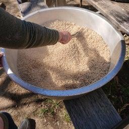 画像 麦麹作り の記事より 6つ目